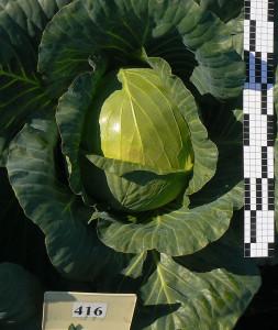 Гибрид капусты белокочанной №416.