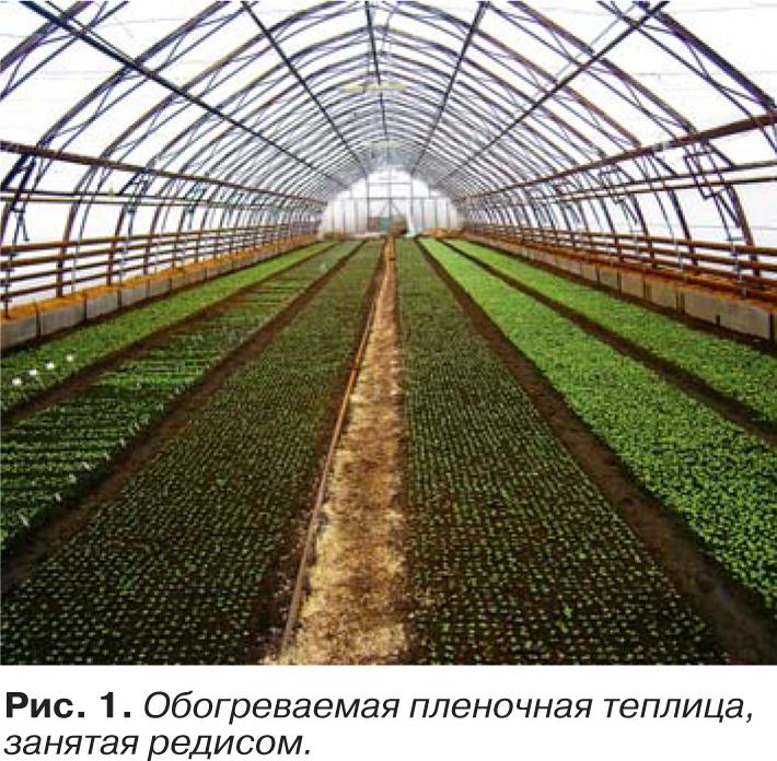 Редис агротехника выращивания в теплице 96