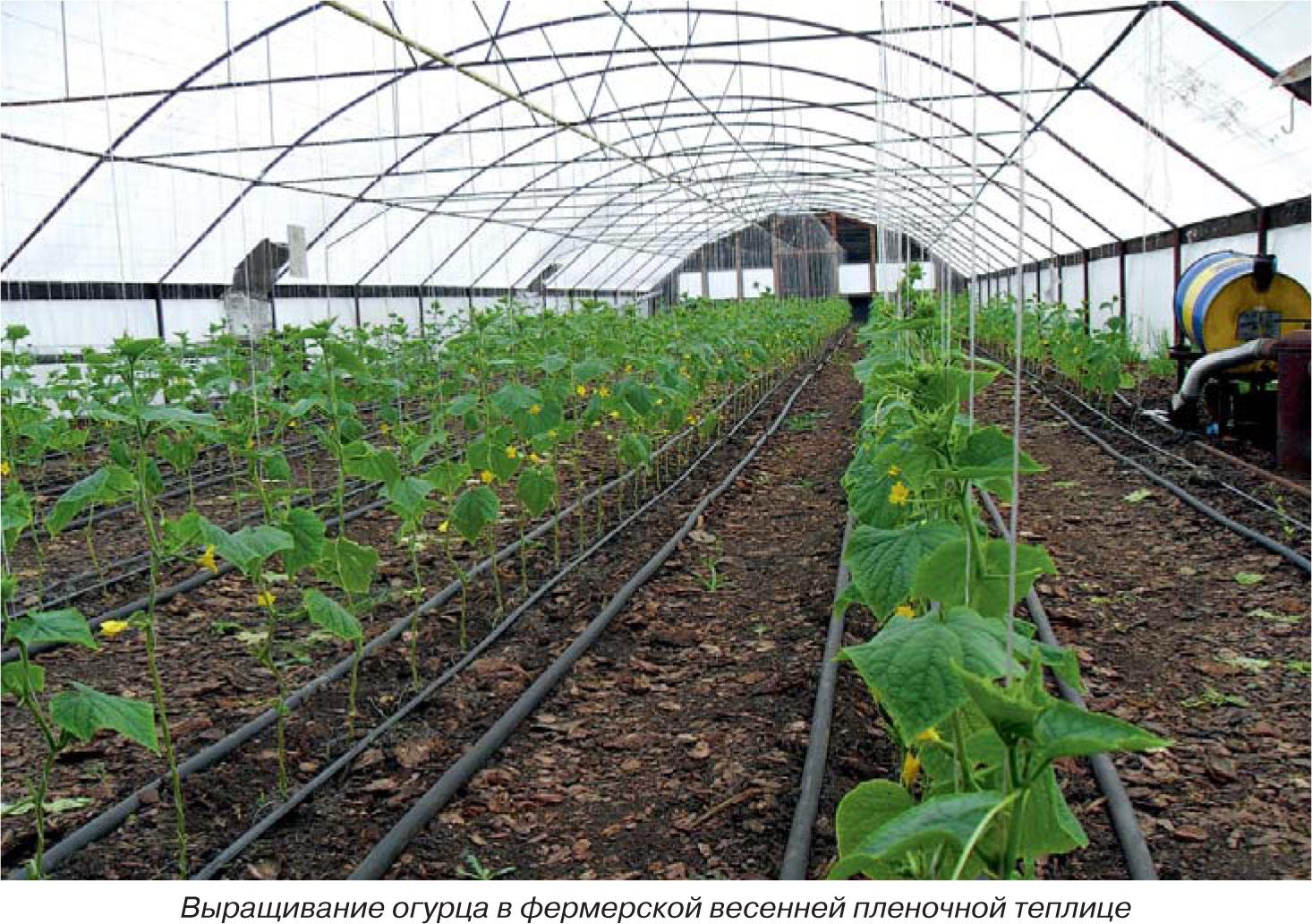 Выращивание огурцов в теплиц зимой 850