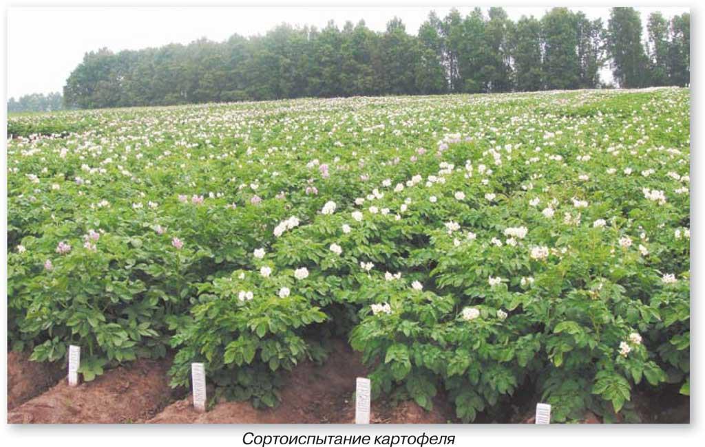 Сортоиспытание-картофеля