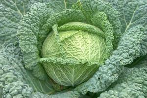 Cabbage_savoy
