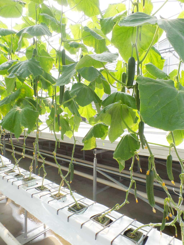 Плодоношение огурца, выращиваемого способом бессубстратной гидропоники